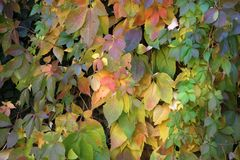 Background Beautiful autumn leaves of wild grapes.  stock photo