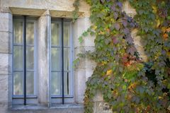 Background Beautiful autumn leaves of wild grapes.  stock photos