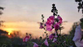 Pink flowers in the sunset background Stock Photos