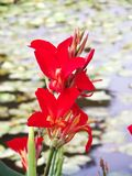 Red Cannaceae beautiful on river, Closeup beauty flower. royalty free stock photos