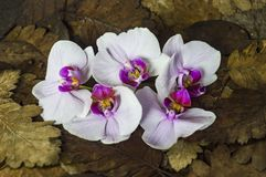 Orchids on a dry leaf jpg. Background,beautiful,beauty,bloom,blossom,closeup,color,decoration,dry leaf,flora,floral,flower,fresh,garden,green,leaf,natural,nature royalty free stock image