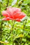 Pink rose in the garden foto. Background,beautiful,beauty,bloom,blossom,closeup,flora,floral,flower,foto,fresh,garden,green,nature,pink,pink roses,plant,red,rose stock image