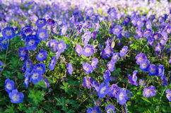 Background from beautiful blue flowers Royalty Free Stock Image