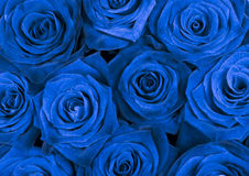Background with beautiful blue roses Royalty Free Stock Photos