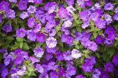 Background  beautiful dark blue flowers Stock Photos