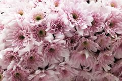 Background of Beautiful Fresh Pink Chrysanthemum Flowers stock images