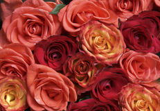 Pink and red roses. Background of beautiful fresh pink, red and orange roses Stock Photos