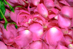 Background of beautiful fresh pink rose petals with water drops Royalty Free Stock Photo