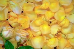 Background of beautiful fresh yellow rose petals with water drop Stock Photo