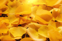 Background of beautiful fresh yellow rose petals with water drop Royalty Free Stock Photography