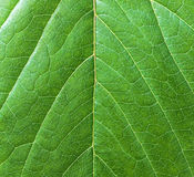 Background beautiful green leaf closeup. Stock Photography