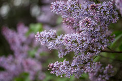 Background with beautiful lilac flowers in the garden. Royalty Free Stock Image