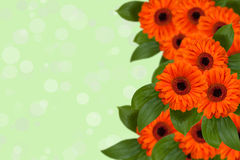 Background with beautiful orange gerberas. Royalty Free Stock Image