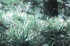Background with beautiful pale green fir branches royalty free stock photography