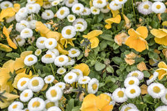 Background with beautiful pattern yellow and white flowers field of flower blurry close up Royalty Free Stock Photo