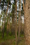 Background of beautiful pine trees Royalty Free Stock Image