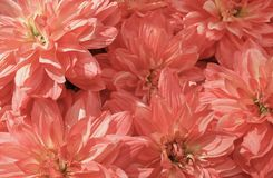 Background of Beautiful Pink Artificial Aster Flowers stock photography