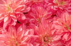 Background of Beautiful Pink Artificial Aster Flowers Stock Image
