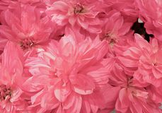 Background of Beautiful Pink Artificial Aster Flowers Stock Images