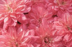 Background of Beautiful Pink Artificial Aster Flowers stock photo