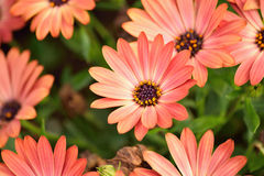 Background of beautiful pink aster flowers in soft light Stock Images