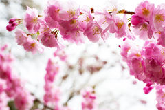 Background with Beautiful pink cherry blossom, Sakura flowers Royalty Free Stock Photo