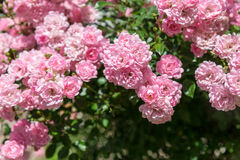 Background with beautiful pink roses Stock Photography