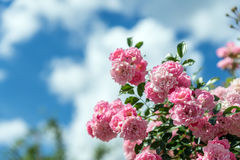 Background with beautiful pink roses Stock Image