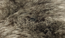 Background - beautiful polar Fox fur Royalty Free Stock Image