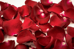 Background of beautiful red rose petals Stock Image