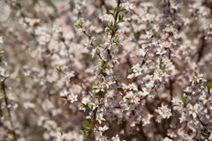 Background with Beautiful spring blossoming tree Royalty Free Stock Photos