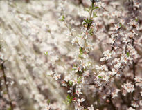 Background with Beautiful spring blossoming tree Stock Photography