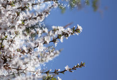 Background with Beautiful spring blossoming tree Royalty Free Stock Photography