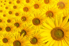 Sunflower background text space Stock Images