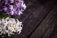 Background white and blue hyacinth flowers Royalty Free Stock Photos