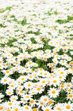 Background beautiful white camomiles Royalty Free Stock Photos