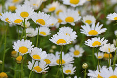 Background of beautiful White Daisy flowers Royalty Free Stock Photography