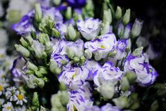 Background of a beautiful white flowers with a violet edge Royalty Free Stock Images