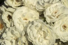 Background beautiful white rose. Blossom, nature royalty free stock photos