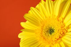 Background with Beautiful yellow gerber flower Stock Image