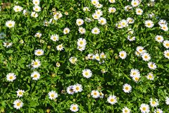 Background of beautifully blooming white flowers stock photography