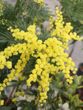 Background of beauty yellow mimosa flowers on the plant royalty free stock photo