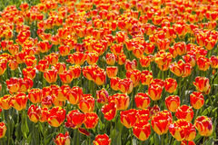 Background bed covered with scarlet tulips Royalty Free Stock Photography