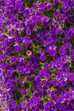 Background bed of  purple petunias Stock Images
