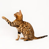background bengal cat isolated playing white Стоковые Фото