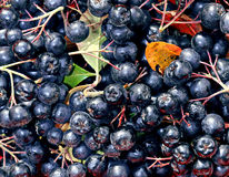 Background of berries of black chokeberry Stock Images