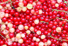 Background of berries of red and white currants Stock Image