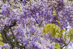 Background big beautiful  tree of purple wisteria blossoms Stock Images