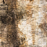 Background of birch bark with a knot Stock Photos