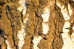 Background birch bark in the setting sun. Structure backgrounds. stock photos